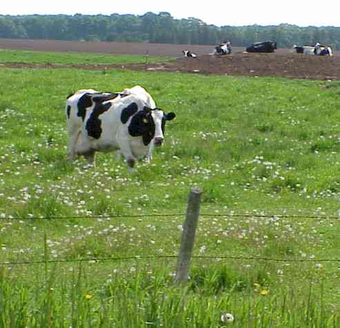 Picture of Holstein Cow grazing in a pasture